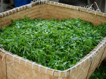 fresh green tea leaves